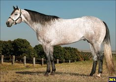 Quarter Horse - stallion Streakin 6  There are lots of really nice Quarter horses I would like to cross into my Appaloosas. Something with a perfect build, speed, heart and good performance. I'm having a hard time finding really nice Appaloosas that aren't halter horses.
