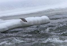 写真: American Dipper