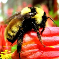 Bumble bees pictures (1)