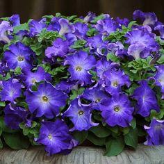 Sophistica Blue Morn petunia