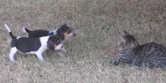 Two Beagle pups about to get their first ass-kicking.