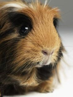 """Squeaking in a guinea pig can signify a variety of different and diverse things, whether apprehension or enthusiasm. Cavies can be a rather noisy and expressive bunch. The name """"guinea pig"""" is often believed to be a nod to their piercing vocalizations, which are reminiscent of the actual squeals of pigs."""