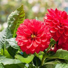 Dahlia Opera Red Flower Seeds (Dahlia Variabilis) 20+Seeds