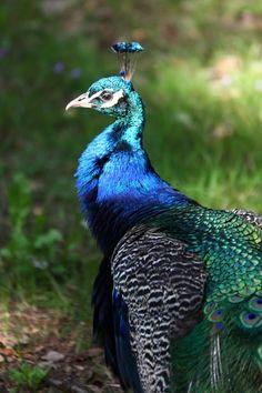 Proud Peacock by Ricardo Jose