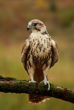 Saker Falcon on a Perch by Alex Thomson13