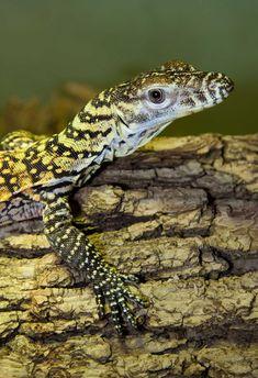 Juvenile Komodo Dragon (not a Nile Monitor)