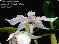 Dendrobium Nora Tokunaga - Orchideen der Schwerter Orchideenzucht