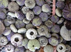 Seashells - sea urchin exoskeletons but as beautiful as their living bodies