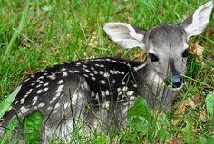 """Résultat de recherche d'images pour """"black deer"""""""