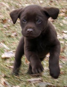 Chocolate Lab Pup - I don't understand why Santa hasn't brought me one yet. I've been asking for years!