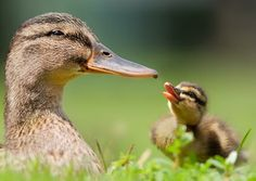 Every time I see a duck, I think of my favorite Aunt Violet..