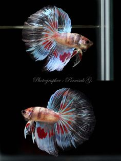 Archived Auction # - Translucent Koi HM - Ended: Mon Oct 1 2012 Koi Betta, Betta Tank, Colorful Animals, Colorful Fish, Tropical Aquarium, Tropical Fish, Planted Aquarium, Aquarium Fish, Betta Tattoo