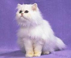 導讀:養貓的朋友,對於耳蟎蟲要有基本的認識。耳蟎蟲具有高度的接觸傳染性。臨床表現耳部奇癢,患貓不時的用後爪搔抓耳部。常可見有皮膚損傷、耳血腫、搖頭不安。對於如何正確預防及治療,養貓的妳一起來了解。