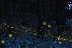Another beautiful long-exposure firefly photo...