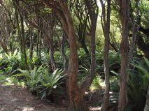 Blechnum chambersii under Kunzea, Stewart Island, NZ Fern Plant, Native Plants, Forests, Ferns, New Zealand, Lush, Woods, Birth, Island