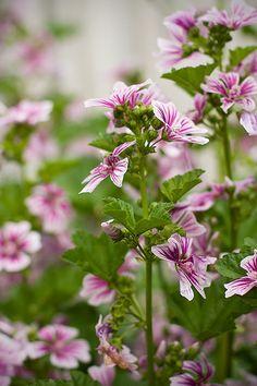 Marshmallow Plant- treat digestive problem, for better treatment http://www.tivoni.com/dietary-supplements/digestiv