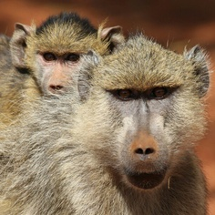 Mother and baby baboon in Kenya