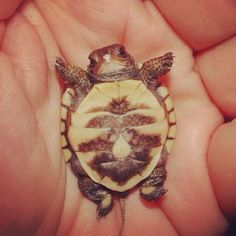 Just made me go Aww. Who knew baby turtles were so darn cute! Cute Creatures, Beautiful Creatures, Animals Beautiful, Pretty Animals, Sea Creatures, Tiny Turtle, Turtle Love, Happy Turtle, Cute Turtles