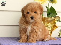 15 Best Just for fun images in 2012 | Maltipoo puppies for sale