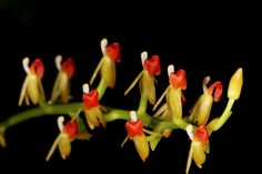 Liparis rhodochila - This beautiful species is found in Northern Borneo and Eastern Java.