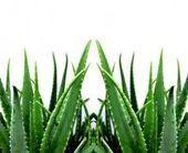 aloe vera for sunburn – Aloe Vera For Skin – beauty skin care Aloe Vera For Sunburn, Aloe Vera For Skin, Aloe Vera Face Mask, Skin Care Remedies, Natural Remedies, Natural Beauty Recipes, Cellulite Remedies, Kraut, Mother Nature