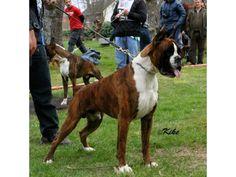 Horse Riding, Horses, Animals, Boxer Dogs, Doggies, Animaux, Horse, Animal, Animales