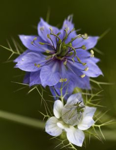 Nigella (Love-in-the-Mist) - one of my favorites! They are so delicate.