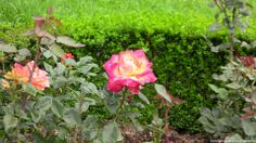 Butter rose at Rose Garden, Ooty.
