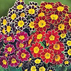 Mixed Victorian Primrose