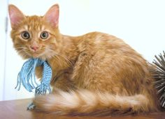Danny Boy is a handsome orange tabby. He is a sweet boy that will give kisses by licking your chin. His purring is non stop when you are touching him. He enjoys playing with other cats and small kittens. He loves the plastic ring with the ball, puff...