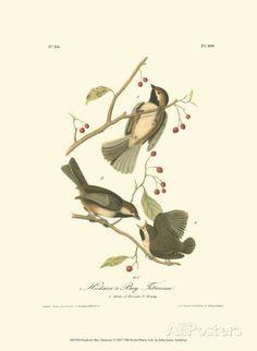 Hudson's Bay Titmouse Prints by John James Audubon at AllPosters.com