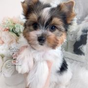 Toy or Teacup Yorkies for sale   Teacup Puppies & Boutique Micro Teacup Yorkie, Teacup Yorkie For Sale, Yorkie Puppy For Sale, Teacup Puppies For Sale, Toy Yorkie, Biewer Yorkie, Wire Fox Terrier Puppies, Toy Yorkshire Terrier, Baby Animals Super Cute