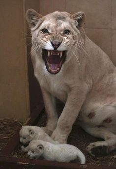 White lion cubs born Germany | white lioness, defends her three newborn lion cubs which were born ...