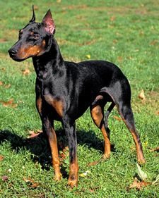Manchester Terrier (Hypoallergenic!)  Sir Elliott is my baby.