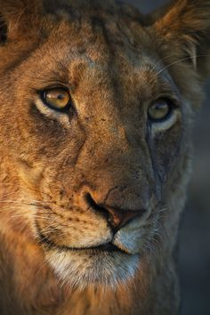 big-catsss: Lion portrait by Neil Aldridge Animals Are Beautiful People, Beautiful Cats, Beautiful Creatures, Animals Images, Animal Pictures, Cute Animals, Wild Creatures, Big Cats, Animal Kingdom