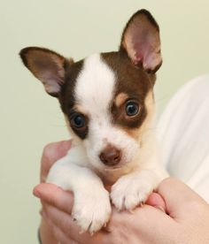 Chihuahua  Rat Terrier Mix