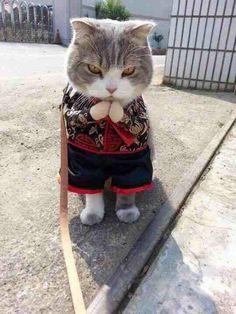 fashion cat :) costume - Cat memes - kitty cat humor funny joke gato chat captions feline laugh photo