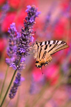 Scent lavender by Tetelle-passion