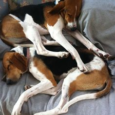 treeing walker coonhounds Instagram photo by @plain_patreid (Patrick) | Statigram