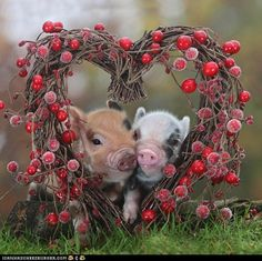 Love me some pigs