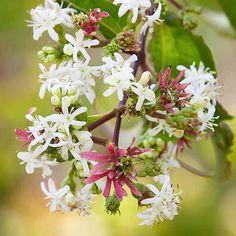 avoid invasive plants Butterfly Bush Alternative Seven-Son Flower (Heptacodium miconioides)