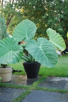 Colocasia or Elephant Ear Thailand Giant -Shiny green leaves up to 5 ft. long and 4 ft. Colocasia or Elephant Ear Thailand Giant -Shiny green leaves up to 5 ft. long and 4 ft. Potted Plants Patio, Landscaping Plants, Outdoor Plants, Garden Plants, Outdoor Gardens, Unusual Plants, Exotic Plants, Tropical Plants, Elephant Ear Plant