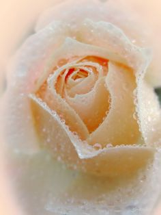 Dew kissed Rose Bud