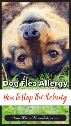 Natural Remedies For Chest Congestion Natural home remedies for treating a dog flea allergy. Home Remedies For Allergies, Home Remedies For Fleas, Allergy Remedies, Natural Home Remedies, Pet Allergies, Holistic Remedies, Dog Flea Remedies, Itching Remedies, Flea Remedy For Dogs
