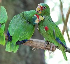 bewezen kweekkoppel witvoorhoofdamazone's | Lories en papegaaien advertenties