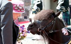 Shetland Pony Cruachan IV, the mascot of the Royal Regiment of Scotland, take a nibble from a posy held by Queen Elizabeth II during a visit to Stirling Castle, as she marked 70 years since being. Get premium, high resolution news photos at Getty Images Pretty Horses, Horse Love, Beautiful Horses, Hungry Horse, Isabel Ii, Baby Horses, White Horses, Horse Farms, Horse Photography