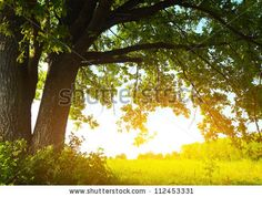 Oak Tree With Huge Branches On Summer Meadow At Sunny Day Stock ...