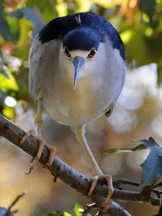 Black-Crowned Night Heron (Nycticorax nycticorax) is a medium-sized heron found throughout a large part of the world.