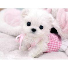 Teacup Maltese Puppies Pictures When buying maltese teacup puppies ...