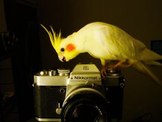 Curious Cockatiel wants to take your photo.